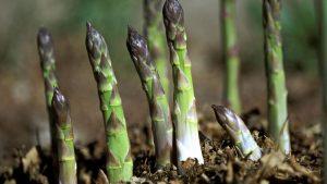 Menanam Asparagus Halaman Rumah